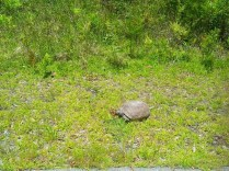 Fred, our resident gopher tortoise